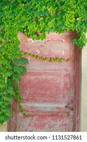 Lush ivy on the wall in red old door