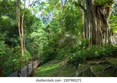 Lush Jungle Trail with Exotic Tree Vines - Bukit Timah Nature Park, Singapore