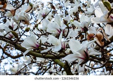 Lush Magnolia flowers