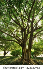the lush old banyan in the nature