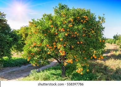 lush orange tree with juicy fruits in the garden under sunlight