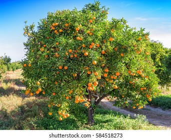 lush orange tree with ripe and juicy fruits