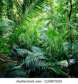 Lush palm grove in the ancient Daintree Rainforest in Far North Queensland, Australia.