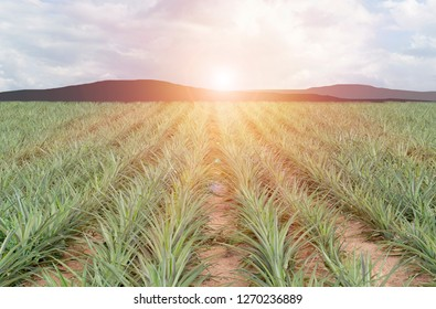 A lush pineapple plantation under the light of the morning sunrise and silhouette mountain in the background.