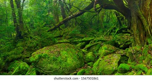 Lush rainforest along the Shiratani Unsuikyo trail (白谷雲水峡) on the southern island of Yakushima (屋久島), Japan.