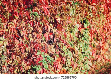 Lush red leaves of wild grapes