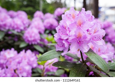 Lush rhododendron flower bush blooming