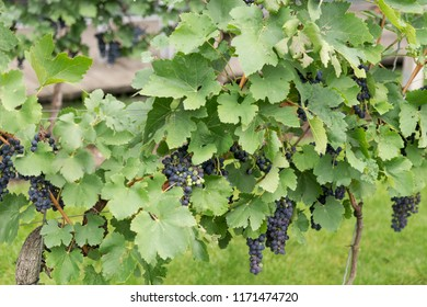 Lush ripe dark red wine grapes on the vine ready for harvest