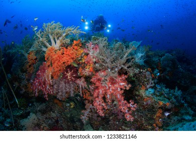 Lush soft coral reef and Scuba Diver underwater in Raja Ampat, Indonesia