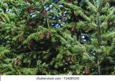 Lush Spruce Branches with Cones Background. Texture of a Natural Plant