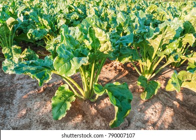 lush sugar beet leaves in the field