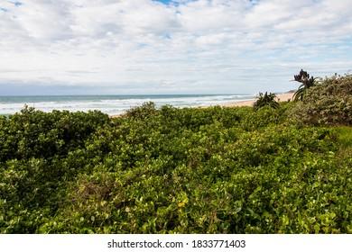 Lush, thick dark green coastal vegetation on sand dunes at beach