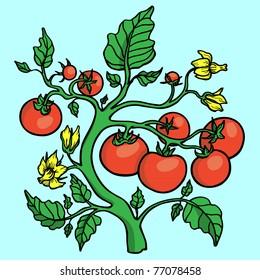 A lush tomato plant.