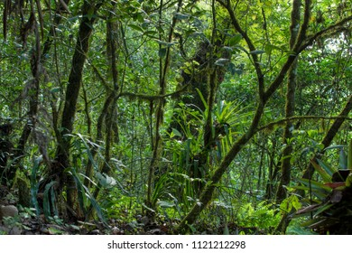 Lush tropical rainforest of Huitepec forest in Chiapas, Mexico with moss covered trees, broadleaf plants, ferns and bromeliads