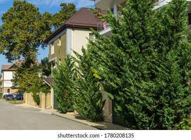 Lush vibrant green foliage of branches cupressocyparis Leylandii. Evergreens grow in narrow streets of Olginka village, where hotels and houses are located.