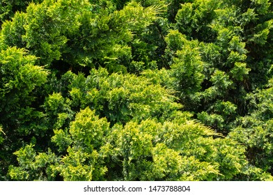 Lush vibrant yellow-green foliage of branches cupressocyparis Leylandii. Spring or summer fresh wallpaper and nature background concept