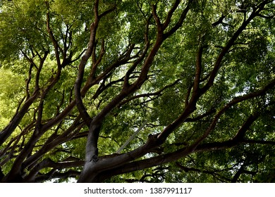 Lush vivid green treetop with brown branches diagonally intertwined. Look from below with sunlight shining through. Back-light.
