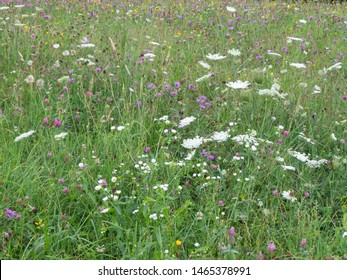 Lush wildflower meadow showing white, purple and some yellow flo