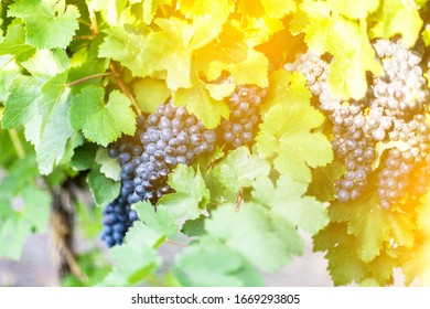 Lush wine grapes clusters hanging on a vine.