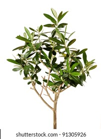 Lush young olive tree closeup isolated on white