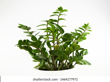 A lush Zanzibar Gem (ZZ plant, Zamioculcas Zamiifolia) pot plant with small, emerald green, glossy leaves on long stems, in a white ceramic pot isolated on a white background.