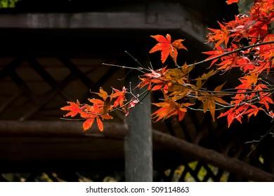 Lushan maple
