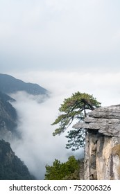lushan mountain landscape, old pine tree on cliff , cloud and fog in valley, China