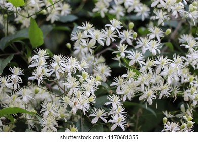 Lushly flowering with small white flowers, dense autumn thickets of lenton grapes (clematis grapefruit, old man's beard, traveller's joy, Clematis vitalba), well visible buds, petals and green leaves.