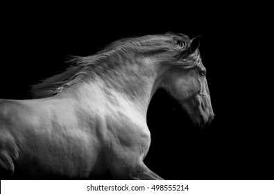 lusitano horse monochrome dramatic portrait