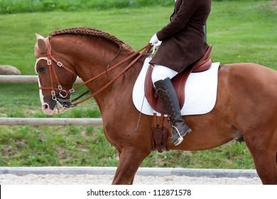 Lusitano Horse Torso