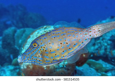 luterus scriptus, scrawled filefish, broomtail filefish or scribbled leatherjacket, is a fish belonging to the family Monacanthidae