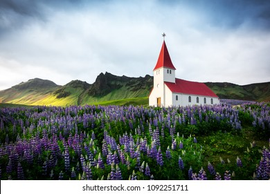 Lutheran Myrdal church surrounded by blooming lupine flowers, Vik, Iceland.