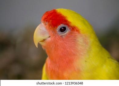 Lutino Peach-faced Lovebird