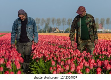 LUTTELGEEST, THE NETHERLANDS - APRIL 17 2018: People are working together in Dutch tulip fields. Temporary jobs usually by Eastern European employees