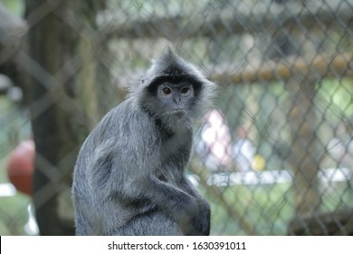 Lutung  or langur is a group of Old World monkeys that make up the genus Trachypithecus. Broadly speaking, Lutung is spread over two regions: Southeast Asia and Southern India