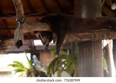 Luwak Cat Resting Relax Funny Animal Exotic Wildlife Travel Mammal