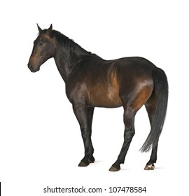 Luxemburger Warmblood, 5 years old, horse, standing against white background