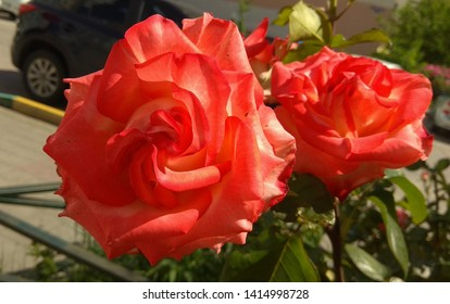 Luxuriant, bicolour, red-orange rose close-up in the street. Exquisite, two-color rose against a rose on the top of a shrub & a street. Sumptuous, two-tone, red-orange rose.