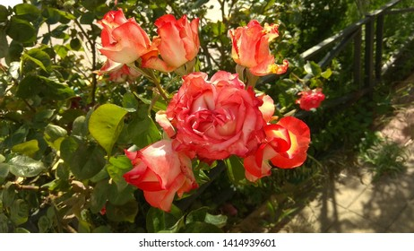 Luxuriant, bicolour, red-white roses against a rose bed. Magnificent cluster of two-color, red-white roses, beginning to bloom on the top of a shrub growing in a flowerbed. Sumptuous, bicolour roses.