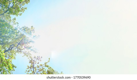 Luxuriant bright green trees and sun lights against clear blue sky. View from below into treetops of beeches on sunny day. Summertime banner with white background for copy space.