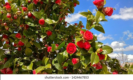 """Luxuriant camellia japonica """"Kramer's Supreme"""" blooming against the blue sky with light clouds on a sunny day. Camellia flower buds, half-opened & closed red flowers contrast with dense, green foliage"""