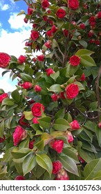 """Luxuriant camellia. Looking up at prolific opening pinkish red blooms of Camellia japonica """"Kramer's Supreme"""" in spring. Camellia flower buds & half-opened red flowers contrast with dense green leaves"""