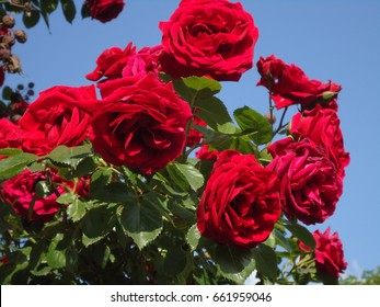 The luxuriant cluster of red roses on a blue sky background. Branch of red roses with leaves. May roses in Novorossiysk.