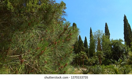 Luxuriant pine tree branches & a partial view of palm trees, yuccas, columnar thuja trees, green trees in an old botanical garden. Partial view of luxuriant Nikitsky botanical garden.