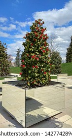 """Luxuriant red camellia shrub in a mirror planter in a park on a sunny day. Prolific camellia japonica """"Kramer's Supreme"""" shrub blossoms in April. Blooming camellia small tree in a mirror container."""