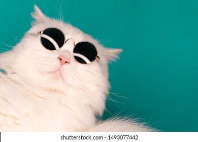 Luxurious domestic kitty in glasses poses on turquoise background wall. Close portrait of white furry cat in fashion sunglasses. Studio photo with copy space.