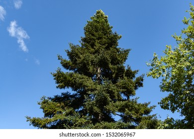 Luxurious Numidian fir (Abies numidica) or Algerian fir with large green female cones on the top in Partenit in Crimea. Selective focus