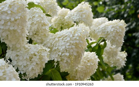 Luxurious white and cream-colored  hydrangea paniculata Limelight in the garden close-up.