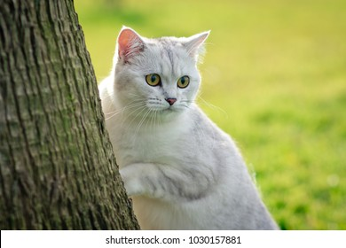 Luxury British cat looks into the distance.