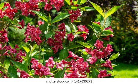 Luxury bush of flowering Weigela Bristol Ruby. Selective focus and close-up beautiful bright pink flowers against the evergreen in the ornamental garden. Nature concept for design